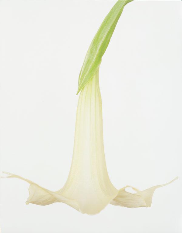 Brugmansia 'Candida' by Ron van Dongen