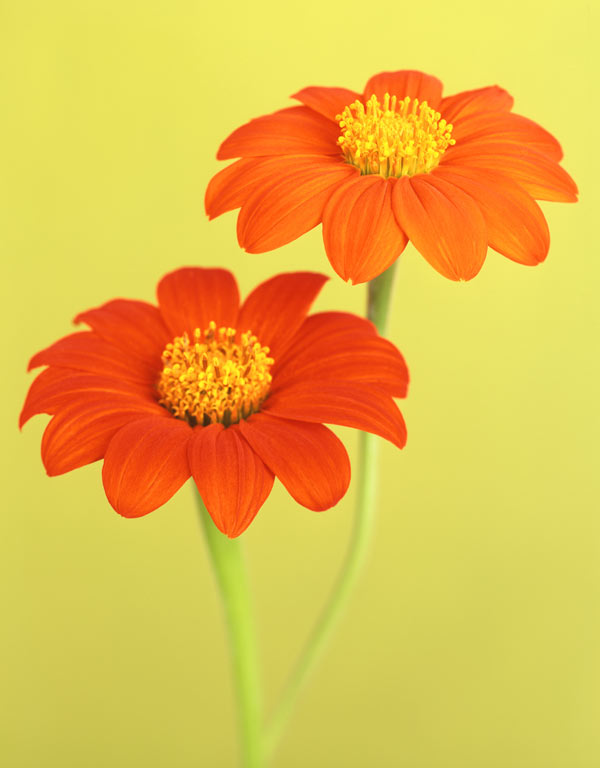 Tithonia rotundiflora 'Torch' by Ron van Dongen