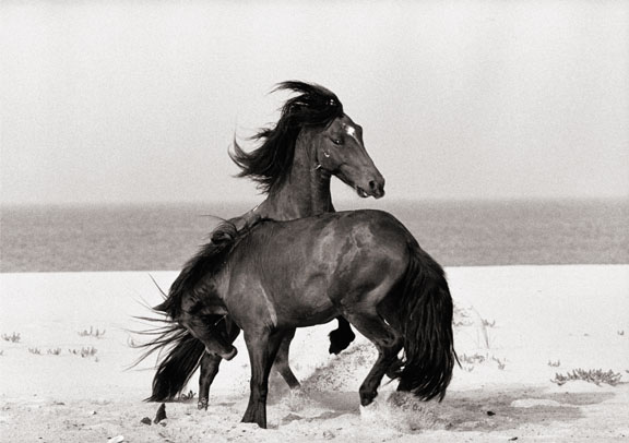 Wild Horses of Sable Island photography by Roberto Dutesco