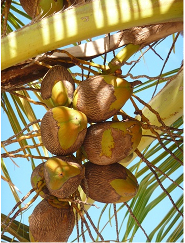 Coconuts photo by Donna Gorman